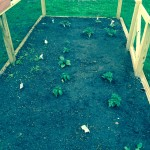 Tomatoes are planted!